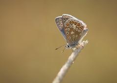 friday flutter (Emma Varley) Tags: butterfly commonblue sunshine joy cheer pretty grass nature smile blue orange white black shallowdepthoffield