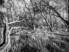 Bent wiith the Wind (David Cornwell) Tags: spring bw biodiversity blackandwhite ecology environment geotagged landscape landscapes map mapped nature outdoors indiana unitedstates us
