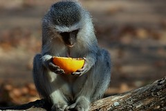 Vervet Monkey   .... sadness (Hannah 0013) Tags: vervetmonkey canon nature wildafrica animal coth5 galaxyhall galaxystars 128910and3to7