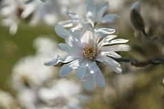 white magnolia (ivoräber) Tags: magnolia magnolien magnoliaceae white helios442 helios