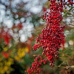 Pretty Red Berries thumbnail