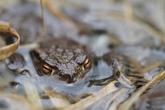 Golden  eyes. (ChristianMoss) Tags: common toad bufo amphibian amplexus