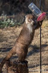 Coati (cameronrognan) Tags: coati wildlifephotography arizona urbanwildlife southernarizona coatimundi copyrightcameronrognan