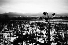 Dead Flowers (Leica M6) (stefankamert) Tags: film analog analogue noir blackandwhite blackwhite noiretblanc deadflowers dead flowers snow winter landscape light sun mountains hills leica m6 leicam6 kodak trix voigtländer ultron stefankamert nature landscapes