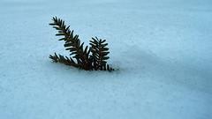 Snow Joke! (069/365) (robjvale) Tags: 365the2019edition 3652019 day69365 10mar19 nikon d3200 wah hereios snow branch tree winter project365