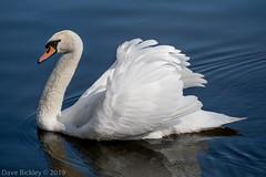 Swan at Attenborough (Dave Bickley) Tags: swan attenboroughnaturereserve nottinghamshire nottinghamshirewildlifetrust birds fujixt3 fuji