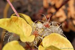 Sonntagsfrisur (Sockenhummel) Tags: britzergarten natur herbst fransen macro garten park fuji xt10 blätter leaves