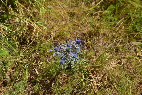 Plavi cvijet (134FJAKA_1474)