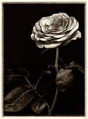 (lana_stasyuk) Tags: одинокая роза прекрасна в своем одиночестве