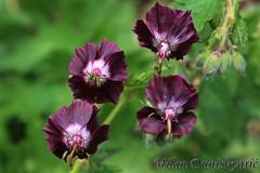 vilino oko (mdunisk) Tags: vilinooko geraniumphaeum biljka biljke cvijet cvijeće croatia črnec mdunisk manjavas žumberak žumberačkogorje žumberačkoselce kotari smeđaiglica