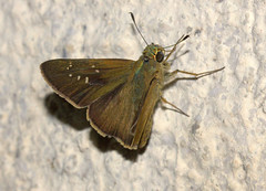 ecosystem/fauna/Bengal Obscure Branded Swift(Pelopidas agna agna) (biodiversity western ghats(before it is gone)) Tags: taxonomy:binomial=pelopidasagna littlebrandedswift hesperiidae hesperiinae baorini diversityindia butterflyindia