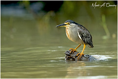 Heron out Fishing! (MAC's Wild Pixels) Tags: heronoutfishing striatedheron mangroveheron butoridesstriata littleheron greenbackedheron heron wader fisher bird birder birdlife birdwatcher birdperfect birdsofeastafrica birdlifephotography avian plumage feathers ornithology animal wildlife africanwildlife wildafrica wildanimal wildbird wildlifephotography outdoors outofafrica nature naturephotography safari boatride lakebaringo greatriftvalley kenya macswildpixels munibachaudry alittlebeauty coth coth5 ngc fantasticnature npc
