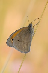 butterfly (alfred.reinartz) Tags: schmetterling butterfly insekt insect