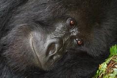 portrait of a Silverback Mountain Gorilla (cirdantravels (Fons Buts)) Tags: gorilla gorille mensaap primate beringei berggorilla mountaingorilla hominidae greatape volcanoesnationalpark