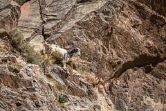 Berber goat - Setti Fatma, Ourika Valley, Atlas Mountains, Morocco-3 (Nature21290) Tags: atlasmountains bovidae capraaegagrus capraaegagrusssphircus february2019 goat mammalia morocco ourika settifatma