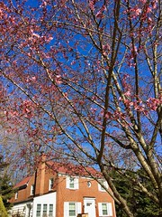 neighbor's Cherry tree is looking good (karma (Karen)) Tags: baltimore maryland neighborhood trees cherryblossoms houses windows htmt hww iphone