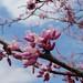 redbud flowers, Lowndesville, SC