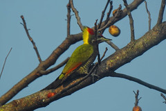 Lesser Yellownape !! (Lopamudra !) Tags: lopamudra lopamudrabarman lopa lesseryellownape yellownape chhotamangwa darjeeling himalaya himalayas bird india westbengal