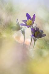 le tiercé gagnant (Thomas Vanderheyden) Tags: anemonepulsatillal anemone fleur flower flora flore nature naturesfinest beautifulearth ngc bokeh vegetal colors couleur thomasvanderheyden samyang135mm xt1 fujifilm