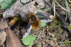 Bombylius Major (suekelly52) Tags: bombyliusmajor beefly mimic fly diptera insect flydayfriday