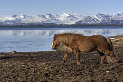 Life in a harsh environment (tmeallen) Tags: icelandichorse equine trotting turf mountainrange iceandsnow reflections water hofn iceland stokksnes hardyhorse pony
