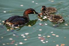 _DSC0533-2 (shoji imamura) Tags: japan tokyo spring bird pond machida yakushiike grebe parent child 薬師池 薬師池公園 親子 カイツブリ 野鳥 東京 町田 多摩 春