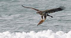 FGR_2654 (frodin78) Tags: bald eagles birds nature wildlife raptors birdsofprey river fish