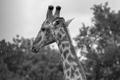 IMG_7261 (Rorals) Tags: animal giraffe wildlife mammal southafrica africa safari kruger black white bw monochrome nature