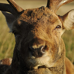 Happy Buck (andy_AHG) Tags: wildlife stag fallowdeerbuck antlers animals nikond300s yorkshire