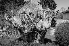 Old tree stump (Thierry GASSELIN) Tags: d7100 stump souche tree arbre monochrome nb bw