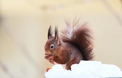 Breakfast in the snow (flowerikka) Tags: animal breakfast eichhörnchen frühstück nature schnee season snow squirrel weis white