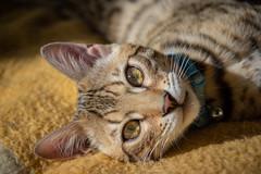 Look into my Eyes (Shastajak) Tags: xaml bengal kitten boy hisnameisaprogramminglanquage pronouncedzamal