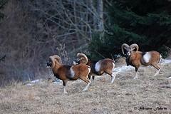 Mufloni (silvano fabris) Tags: wildlife photonature nature canonphotography wildlifephotonature animali animals mufloni