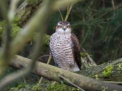 Where did all the Blue Tits go? (Maria-H) Tags: sparrowhawk accipiternisus birdofprey derbyshire highpeak peakdistrict uk olympus omdem1markii panasonic 100400