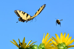 BeeAndButterfly1 (Rich Mayer Photography) Tags: butterfly bee bea insect insects animal animals flower swallowtail swallow tail bumble wildlife nature nikon