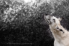 What a bummer summer (Wieselblitz) Tags: dog dogs dogphotography dogportrait dogphotographer summer water splash drops wet wetdog shake shaking shakingdog pet pets petphotography petportrait petphotographer outdoor action