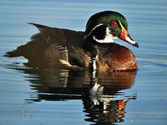 Wood Duck (Edhorton) Tags: henderson bird viewing preserve las vegas nevada wood dcuk wildlife