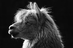 Alpaca (wjpostma) Tags: alpaca vicugnapacos alpaka alpaga 羊驼 альпака альпака́ αλπακά alpakka ალპაკა alpacka ألبكة آلپاکا אלפקה アルパカ 羊駝 알파카 អាល់ប៉ាកា อัลปากา