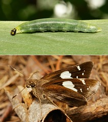 METAMORPHOSIS - Restricted Demon (Notocrypta curvifascia, Hesperiidae) (John Horstman (itchydogimages, SINOBUG)) Tags: insect macro china yunnan itchydogimages sinobug entomology butterfly lepidoptera caterpillar larva collage metamorphosis skipper hesperiidae notocrypta curvifascia notocryptacurvifascia