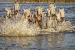 Chevaux de Camargue 2 (Xtian du Gard) Tags: xtiandugard camargue provence france nature chevaux sauvage eclaboussures poulains waterscape reflet