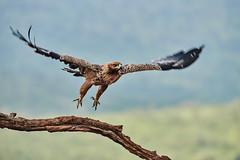 ZIM_6886 (lucvanderbiest) Tags: tawnyeagle savannearend scavengershide zimangaprivatereserve southafrica