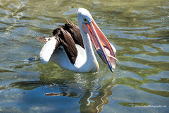 The fight for food - taking the prize - 4/4 (Peter.Stokes) Tags: aust australia pelicans birds waterbirds photography photo nature native food fighting fish