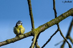 Blue Tit (Jen Buckle) Tags: bluetit gardenbird gardenbirds bird birds branch bluesky nikon nikond7500 jenbuckle wwwflickrcompeoplejenbuckle