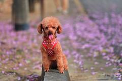 我家小可愛 (藍大衛) Tags: 紅貴賓 貴賓狗 動物 戶外 景深 狗 寵物 洋紅風鈴木