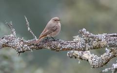 Black Redstart (female) (tickspics ) Tags: monfragüenationalpark birds blackredstart spain extremadura saltodegitano europe parquenacionalmonfragüe phoenicurusochruros