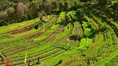 INDONESIEN, Bali ,unterwegs nach Klungkung (Reisterrassen) 18029/11266 (roba66) Tags: bali urlaub reisen travel explore voyages rundreise visit tourism roba66 asien asia indonesien indonesia insel island île insulaire isla reisterrassen rice ricefields reis green grün landschaft landscape paisaje nature natur naturalezza