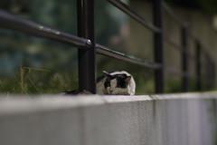 Black & White Cat (Flexible Negativity) Tags: kitten kitty k70 cat caturday nuko pentax 猫 貓 bicolorcat meow ねこ