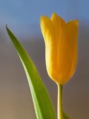 Tulip. (alterahorn) Tags: dxo 25mm mzuiko25mm olympusmzuiko25mmf12 olympusomdem1ii olympus featheredbokeh bokeh nahaufnahme closeup bleu vert jaune blue green yellow blau grün gelb printemps spring frühling blume tulip tulpe