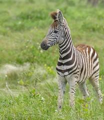 Burchell's Zebra (Equus quagga burchellii) foal ... (berniedup) Tags: westernshores isimangaliso zebra taxonomy:trinomial=equusquaggaburchellii taxonomy:binomial=equusquagga equusquagga burchellszebra equusquaggaburchellii foal