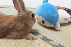 Ichigo san 1517 (Errai 21) Tags: いちごさんとキキ ichigo san  キキ ichigo rabbit bunny cute netherlanddwarf pet うさぎ ウサギ いちご ネザーランドドワーフ ペット 小動物  ichigo 1517